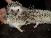 Tame Baby Hedgehogs