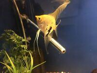 """Angel fish 2-3"""""""