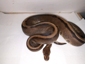 G stripe ball pythons