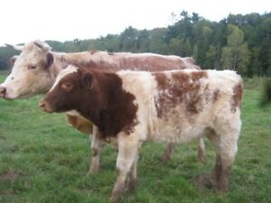 Good quality replacement beef heifers for sale