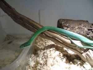 Male rhino rat snake