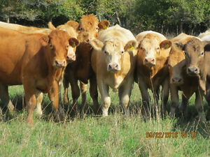 Bred first calf heifers Kitchener / Waterloo Kitchener Area image 6