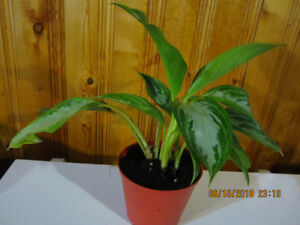 """Aglaonema""""Chinese Evergreen Silver Bay"""" - (Air Purifying Plant)"""