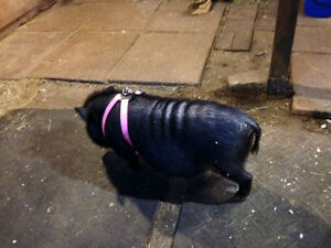 Friendly potbelly pig for sale
