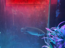 3 climbing perches tropical fish