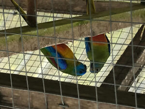 Torquoise birds with cage for sale