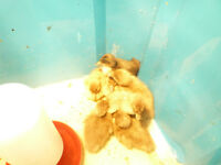 7 ducklings hatched may 24