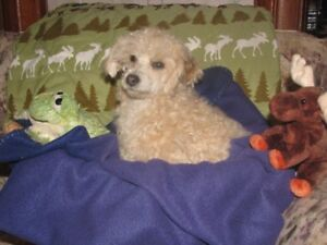 Friendly, lovable Minature Poodle - Hypoallergenic