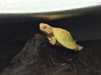 Baby Albino Red Eared Slider  ***RARE***