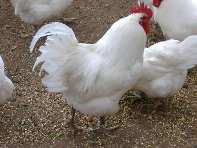 18 + 2 blk & wht Jersey Giant Chicken Fertile Hatching Eggs for Incubators