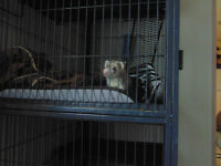 ferret and three story enclosure