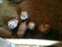 Lab/ Golden Retriever puppies for sale!!!