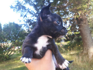 Beautiful Chihuahua puppie