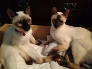Chocolate point Siamese Kittens