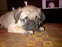 1 Puginese's puppy left