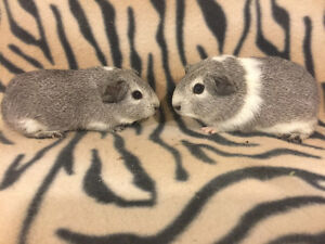 Baby American Smooth Guinea Pigs