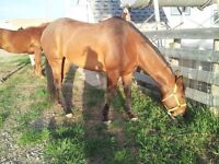 10 year old papered QH mare