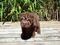 CHINESE SHAR - PEI PUPPIES * BREEDING FOR QUALITY & EXCELLENCE