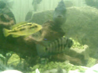convict fish and bumble bee chichlids