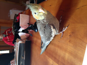 cockatiel for sale+ cage