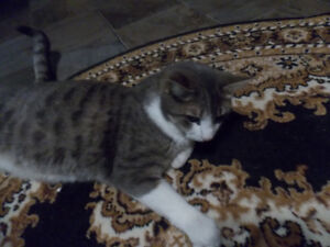 """LOST - MALE SILVER TABBY """"LINCOLN"""" London Ontario image 2"""