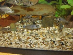 Young African Cichlids Looking For New Homes