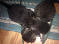 2 male Kittens left for sale