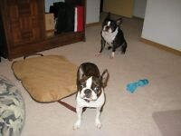 Looking for a Boston Terrier doesn't need to be purebred