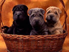 Shar-pei puppie
