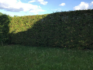 Privacy hedge trees