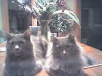 Looking for a home for my two Nebelung cats