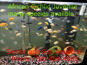 African Peacocks for sale at Senior and Son Aquatics!