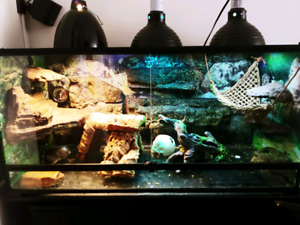 MALE BEARDED DRAGON & 40GAL AQUARIUM & Black Stand