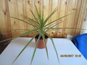 "Dracaena Marginata ""Tricolor""  - (Red Edge) - Air Purifier Plant"