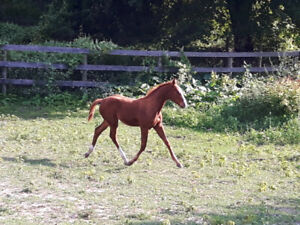 Sport Horse Yearling