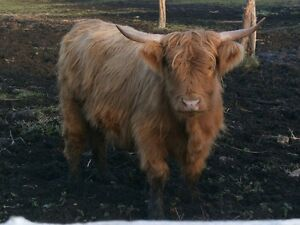 Quality Highland Cattle for Sale Kitchener / Waterloo Kitchener Area image 5
