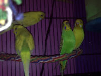 Budgies 6 to choose from