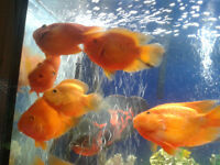 I have five Blood Parrot Fish for sale, $20.00 each