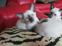 L@@K! TWO SEAL-POINT SIAMESE KITTENS FOR SALE