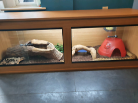 Adult male bull snake and 6ft enclosure