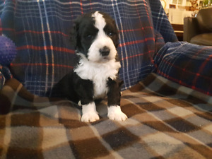 SWEET BERNEDOODLE PUPPIES ARRIVED  MARCH 2 nd