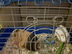 Two sweet Guinea pigs to a good home