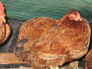 1 Rhode Island Red Laying Hen