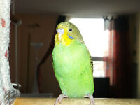 Amazing 2 Budgies for sale! (+cage and other)