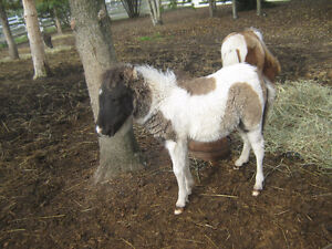 Miniature colt for sale price reduced