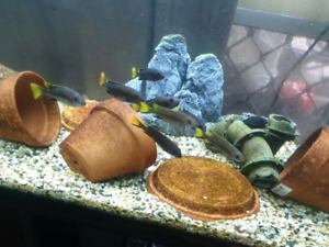 Acei african cichlid
