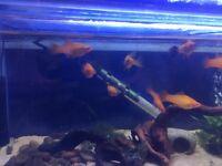 Swordtails tropical fish for sale
