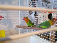 cpl inseparables fisher vert ou echange contre cage