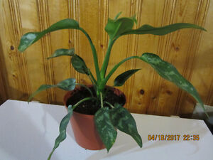 Chinese Evergreen Variegated Plant - (Air Cleaning House Plant)