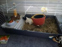 2 guinea pigs + full cage, hammock and tubes.